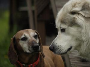Ausdruckverhalten des Hundes/2 sich anschauende Hunde