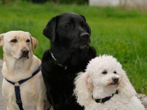 3 schauende Hunde
