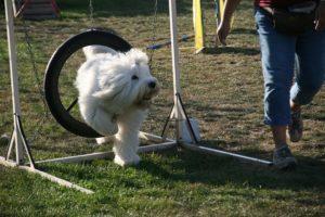 Agility Funturnier 2019 Hund meistert den Reifen